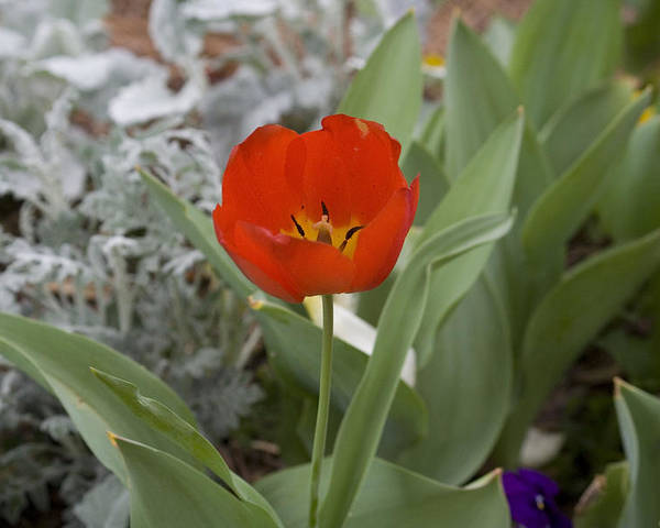 Red Tulip Poster featuring the photograph Red Tulip by Magda Levin-Gutierrez