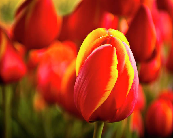 Red Poster featuring the photograph Red Tulip by Tamyra Ayles
