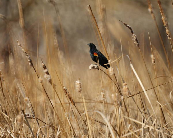 Red Winged Blackbird Poster featuring the photograph Red Winged Blackbird by Ernie Echols