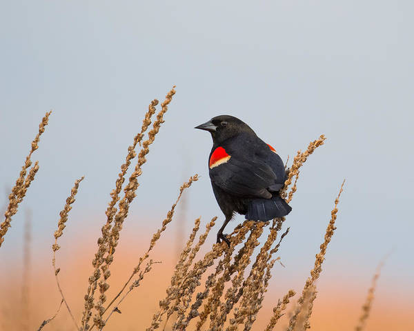 Wildlife Poster featuring the photograph Red-winged Blackbird by Phillip McNeil