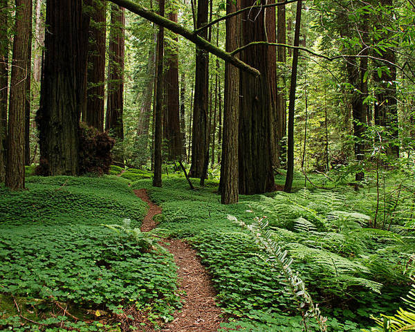 Redwood Poster featuring the photograph Redwood Forest Path by Melany Sarafis