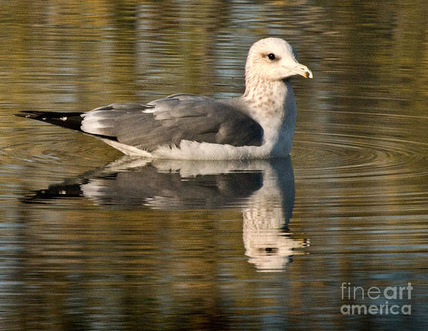 California Scenes Poster featuring the photograph Young Gull Reflections by Norman Andrus
