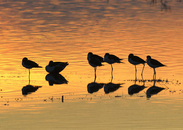Black Neck Stilt Poster featuring the photograph Rest At The End Of A Day by Doug Holck