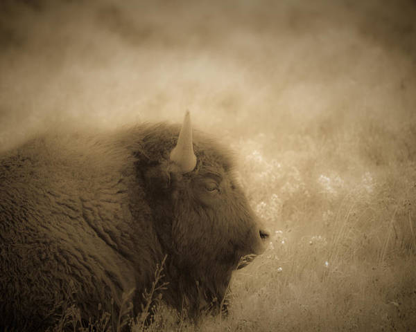 Bison Poster featuring the photograph Resting Buffalo by Patrick Flynn