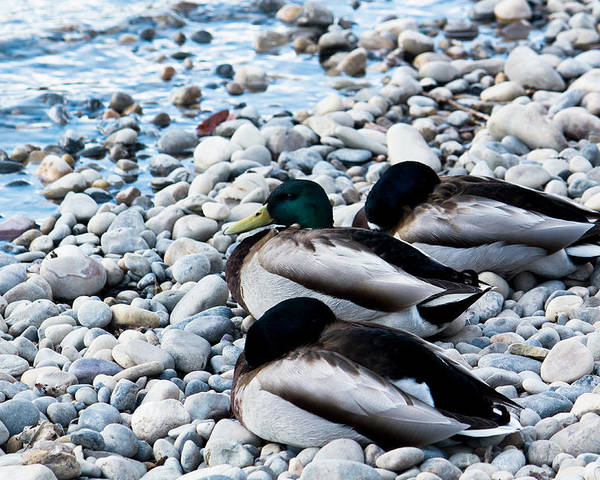 Duck Poster featuring the photograph Resting Ducks by Ananta Patel