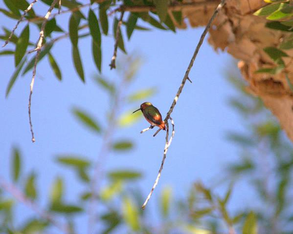 Hummingbird Poster featuring the photograph Resting Hummingbird by Brad Scott