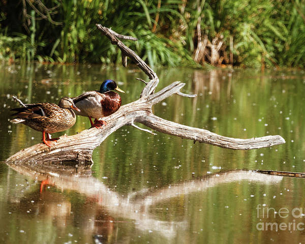 Birds Poster featuring the photograph Resting Mallards by Robert Bales