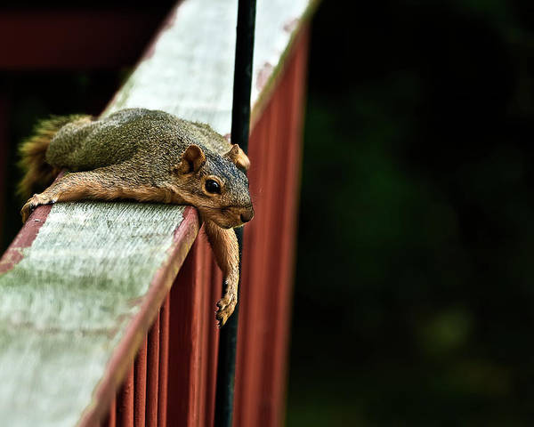 Eastern Fox Squirrel Poster featuring the photograph Resting Squirrel by Onyonet Photo Studios