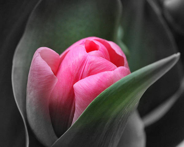 Tulip Poster featuring the photograph Resurrection by Chayla Brown