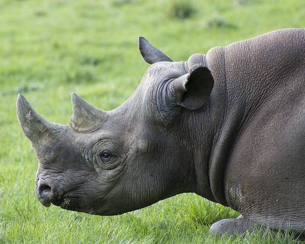 Rhinoceros Poster featuring the photograph Rhino by FL collection