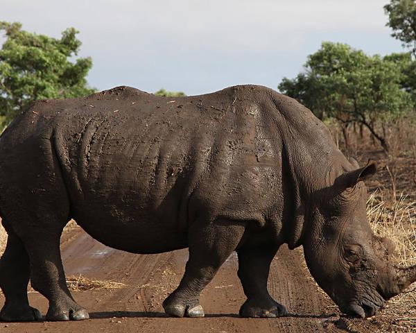 Rhino Poster featuring the photograph Rhino by Tamar Toerien
