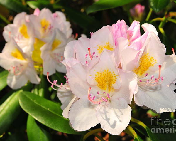 Background Poster featuring the photograph Rhododendron by Catherine Reusch Daley