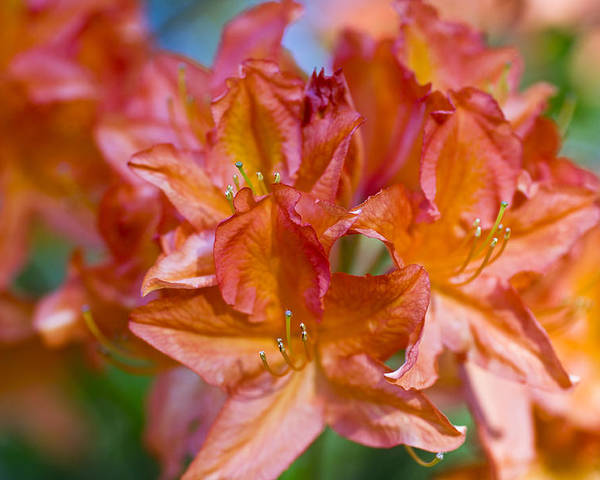 Rhododendron Flowers Poster featuring the photograph Rhododendron Flowers by Frank Tschakert