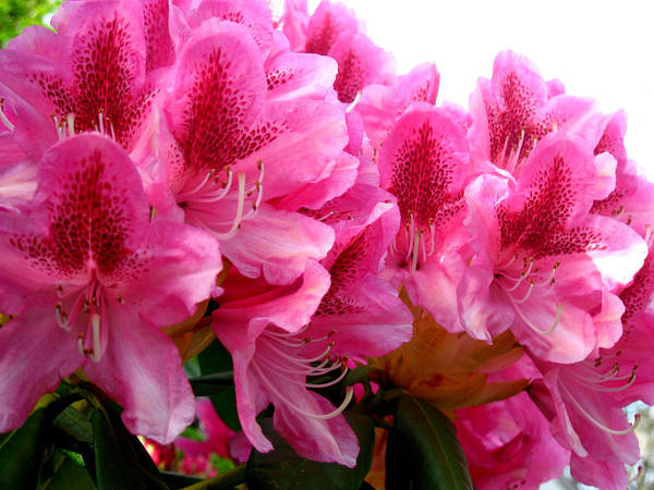 Rhododendron Poster featuring the photograph Rhododendron I by Aliza Souleyeva-Alexander