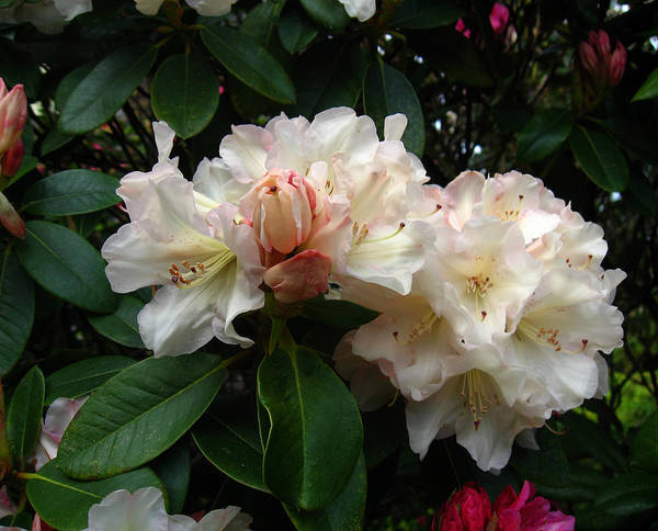 Rhododendrons Poster featuring the photograph Rhododendrons IIi by Aliza Souleyeva-Alexander