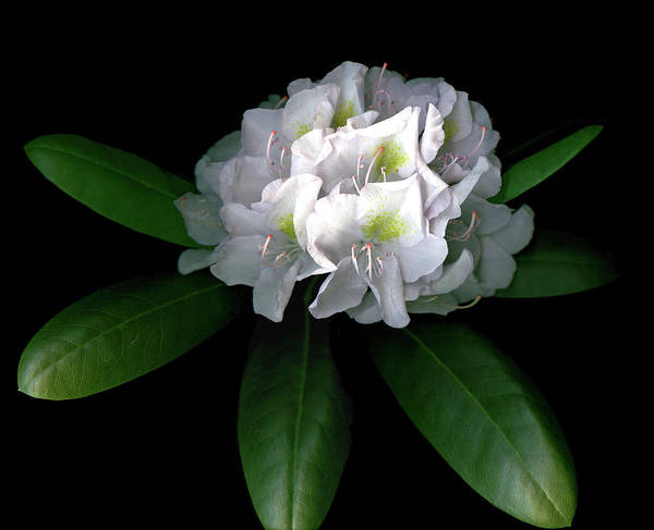 Rhododendron Poster featuring the photograph Rhody Queen - White by Vita Mancusi