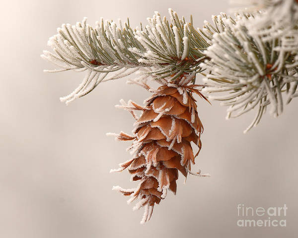 Spruce Poster featuring the photograph Rime Ice Lightly Clinging To Spruce Cone by Max Allen