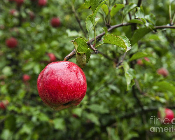Maine Poster featuring the photograph Ripe Apples. by John Greim