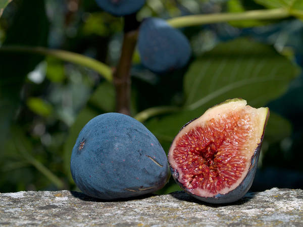 Fruit Poster featuring the photograph Ripe Figs by Jim DeLillo
