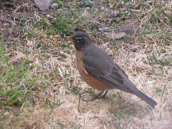 Robin Poster featuring the photograph Robin by Melissa Parks