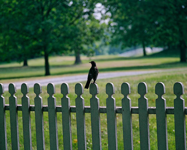 Bird Poster featuring the photograph Robin On A Fence by Lone Dakota Photography
