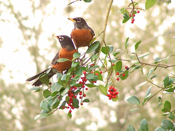 Nature Poster featuring the photograph Robins In Holly by Peg Urban