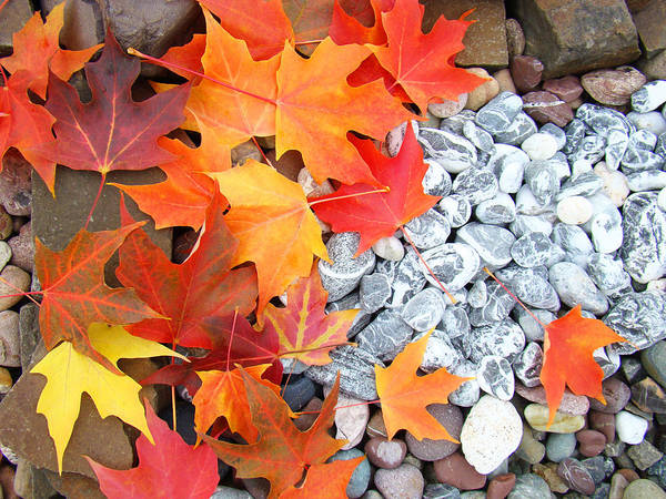 Autumn Poster featuring the photograph Rock Garden Autumn Leaves by Baslee Troutman