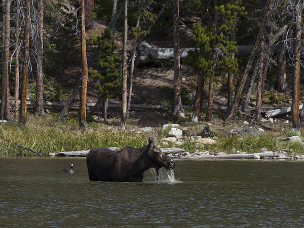 Rocky Mountain Moose Poster featuring the photograph Rocky Mountain Bath by Theo Bauder