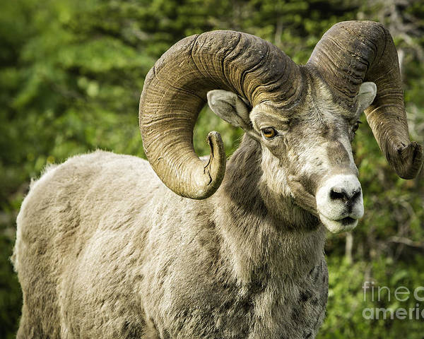Glacier Park Poster featuring the photograph Rocky Mountain Bighorn Sheep by Timothy Hacker