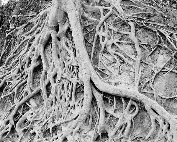 Roots Poster featuring the photograph Roots In Black And White by Steve Shockley