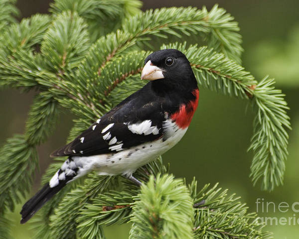 Male Poster featuring the photograph Rose-breasted Grosbeak - D002769 by Daniel Dempster
