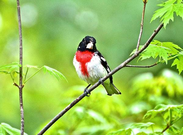 Rose-breasted Grosbeak Poster featuring the photograph Rose-breasted Grosbeak 2 by Danielle Sigmon