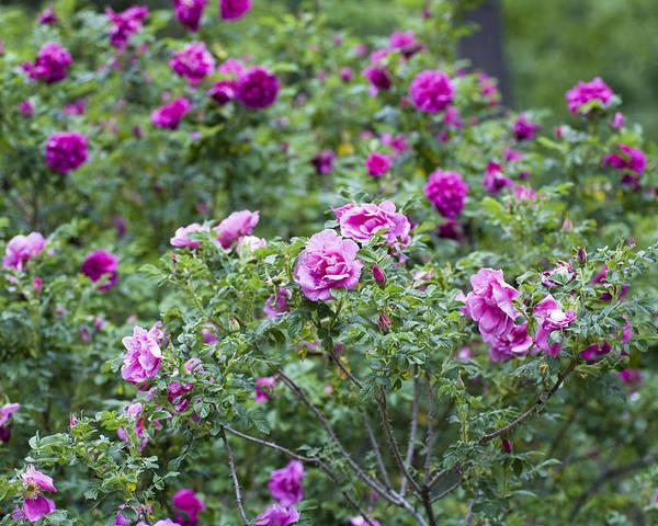 Garden Poster featuring the photograph Rose Garden by Frank Tschakert