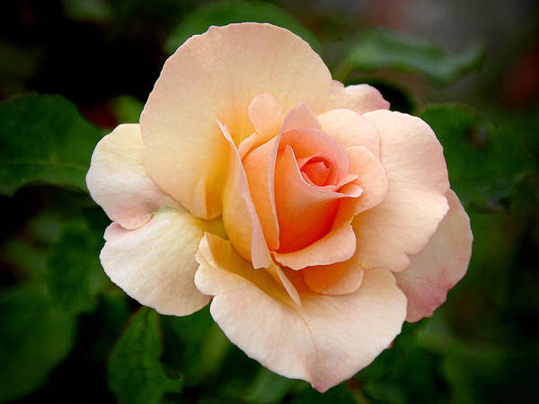 One Poster featuring the photograph Rose Is A Rose Is A Rose by Christine Till