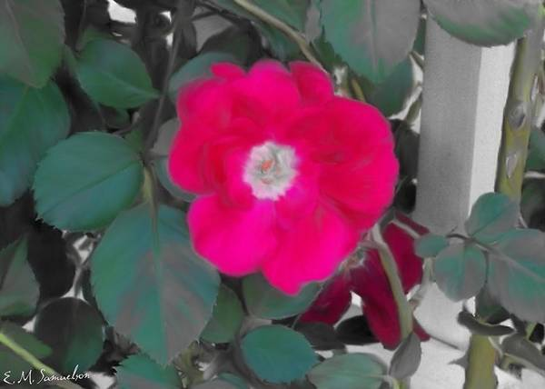 Nature Poster featuring the photograph Rose On A Trellis by Elise Samuelson