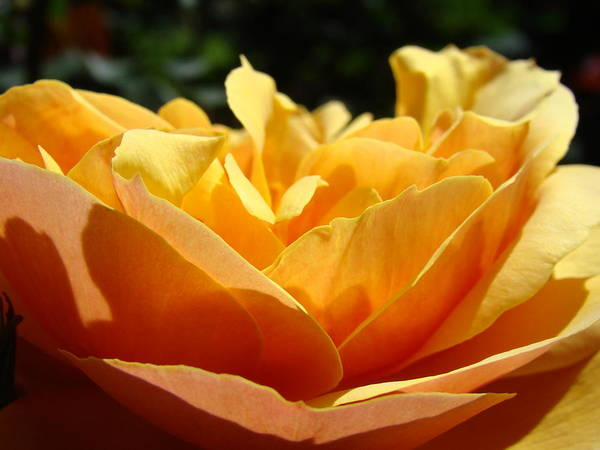 Rose Poster featuring the photograph Rose Sunlit Orange Rose Garden 7 Rose Giclee Art Prints Baslee Troutman by Baslee Troutman