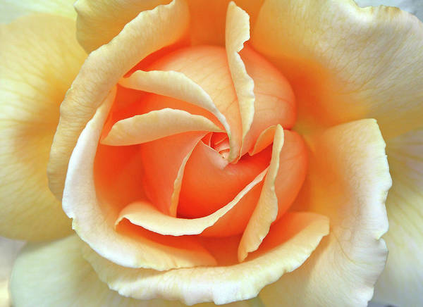 Flower Photos Poster featuring the photograph Rose Unfolding by Maria Ollman