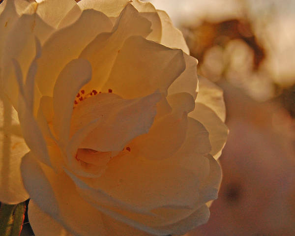 Rose Poster featuring the photograph Rosy Afternoon 2 by Jean Booth