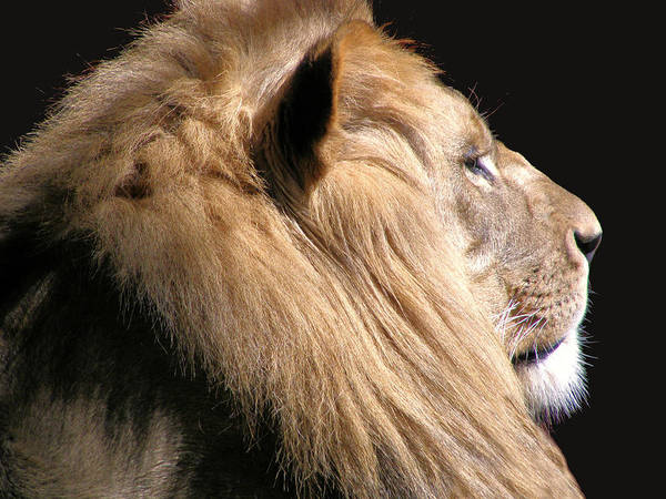 Lion Poster featuring the photograph Royalty by Scott Hovind