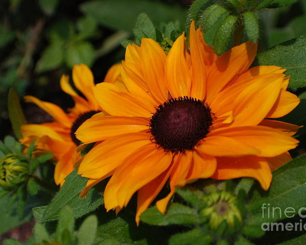 Rudbeckia Poster featuring the photograph Rudbeckia Flower In Bloom by DejaVu Designs