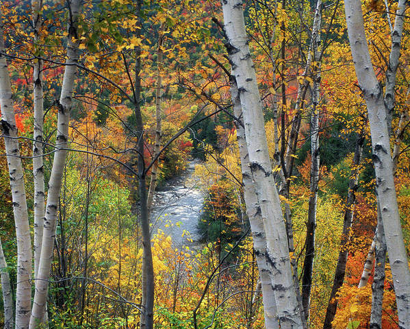 New Hampshire Poster featuring the photograph Saco River And Birches by John Burk