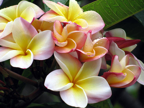 Plumeria Poster featuring the photograph Sacuanjoche by Sarah Hornsby