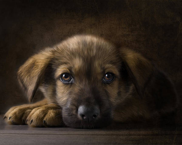 Puppy Poster featuring the digital art Sad Puppy by Bob Nolin
