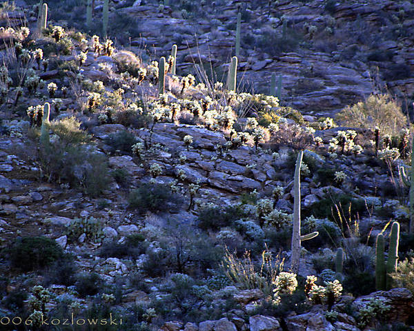 Cactus Poster featuring the photograph Saguaro Sunrise by Joe Kozlowski