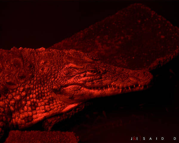 Alligator Poster featuring the photograph Said Dante by Jonathan Ellis Keys