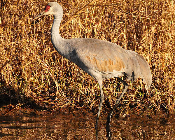 Photography Poster featuring the photograph Sandhill Crane by Joel Brady-Power