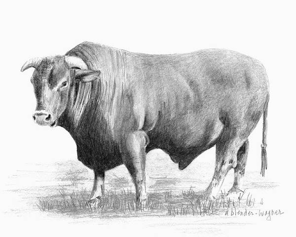 Bull Poster featuring the drawing Santa Gertrudis Bull by Arline Wagner