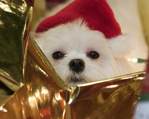 Maltese Poster featuring the photograph Santa Paws by Leslie Leda