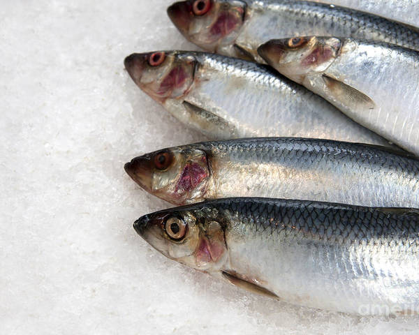 Buy Poster featuring the photograph Sardines On Ice by Jane Rix