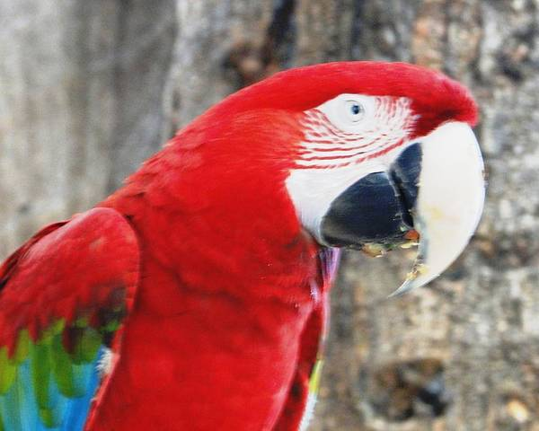 Scarlet Macaw Poster featuring the photograph Say What by Carol Reynolds